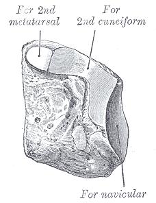 medial cuneiform